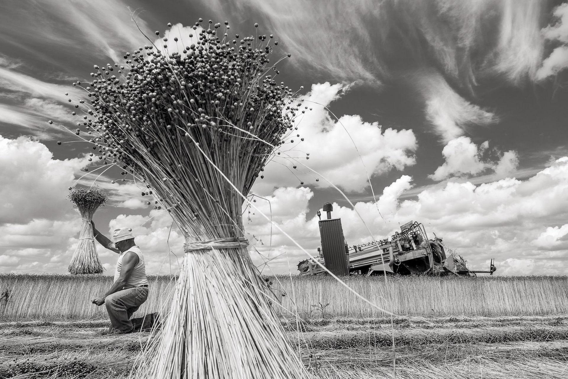 Nord-Pas de Calais, Gognies-Chaussee (59) : récolte du lin