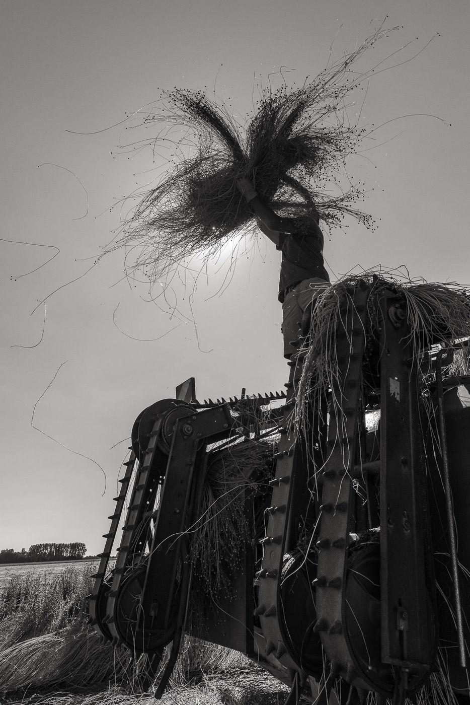Normandie, Bazoques (27) : récolte du lin