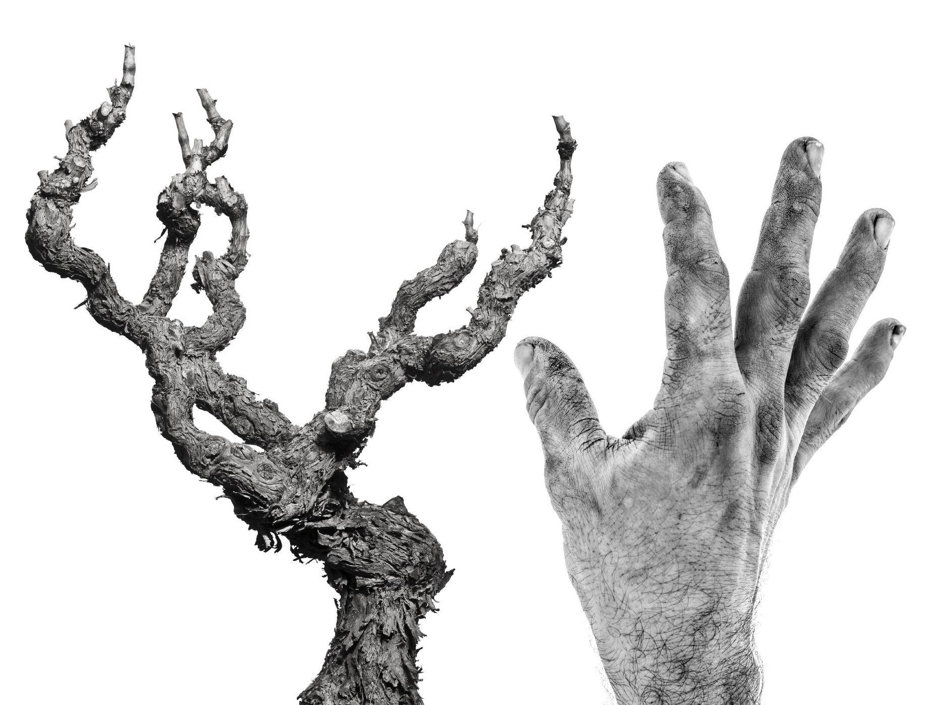 Corbières : pied de vigne et main de vigneron